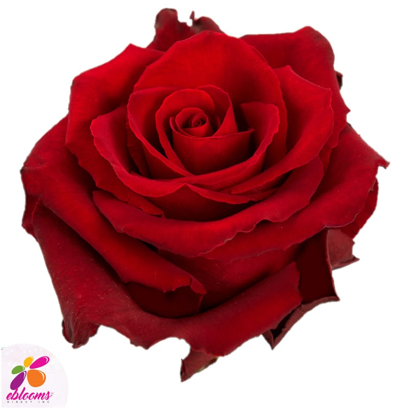 Fortune Red Rose Variety