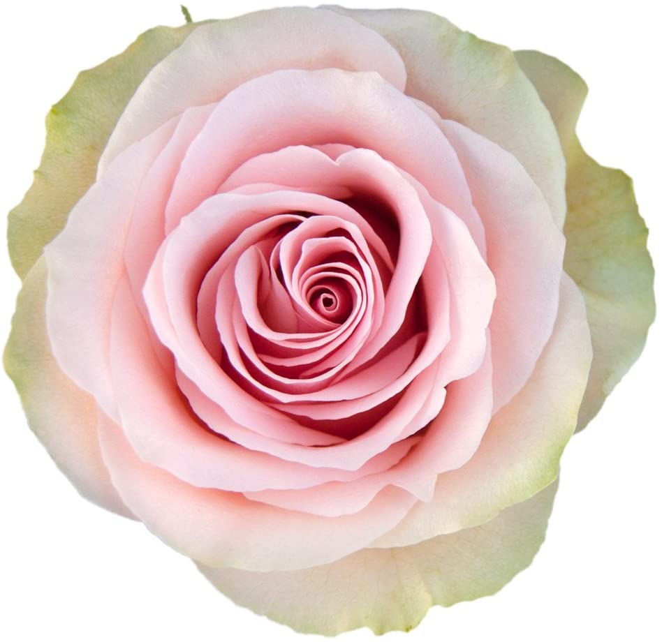 Frutetto Rose Variety - EbloomsDirect