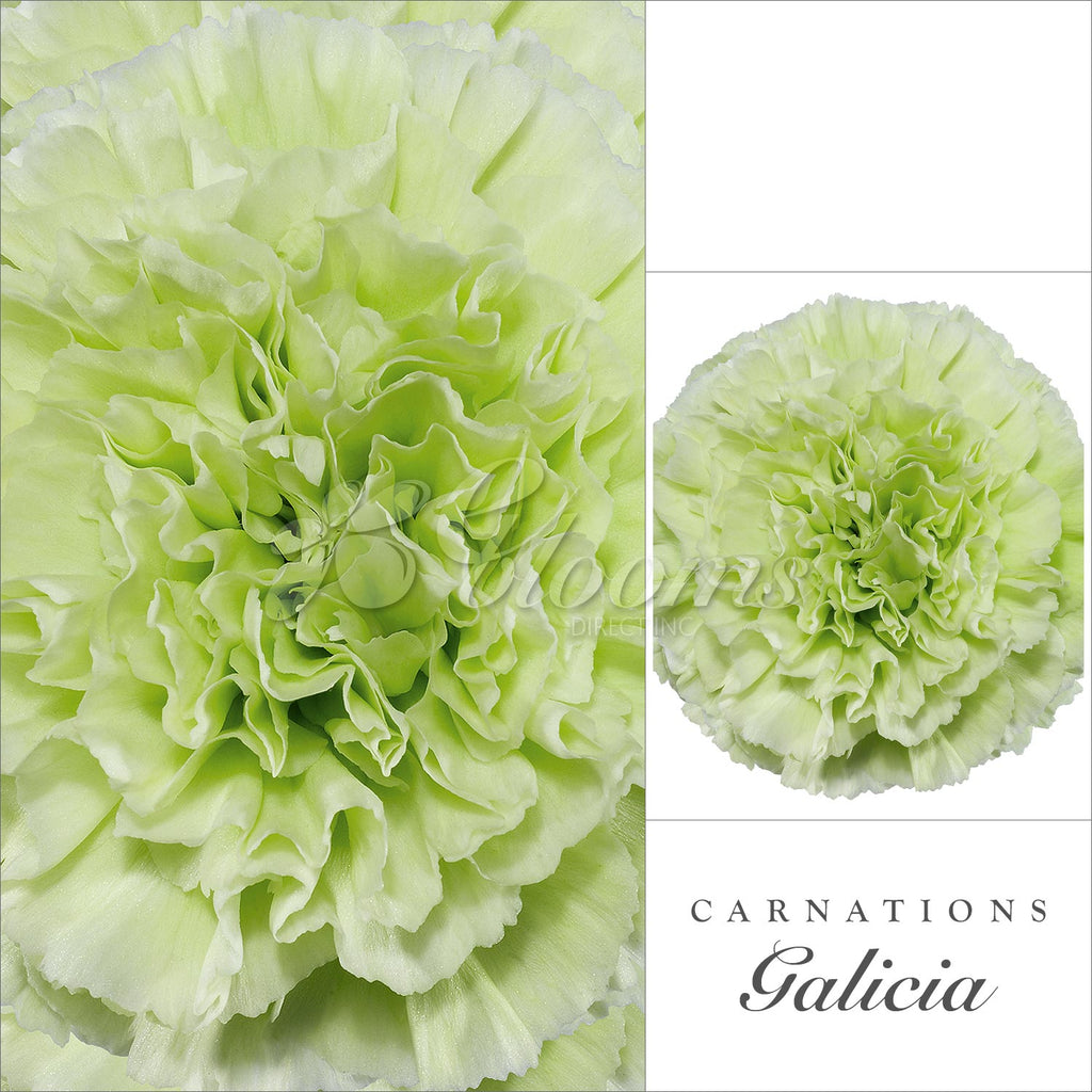 Carnations Green - EbloomsDirect