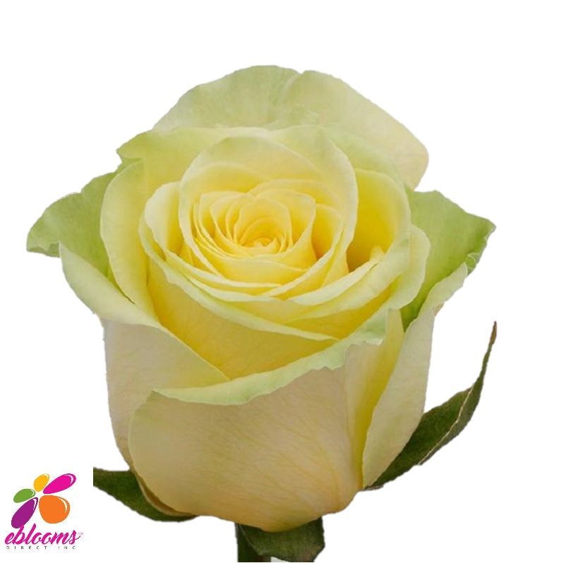 Gelosia Soft Yellow Rose - EbloomsDirect