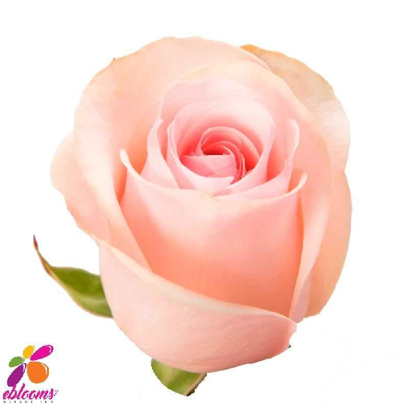 Girlfriend or Novia Rose Variety- EbloomsDirect
