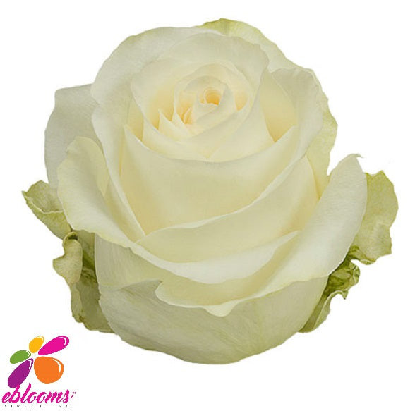 Glacier Magic Rose variety White - EbloomsDirect