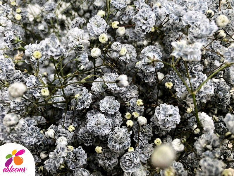 Baby's Breath Gray Tinted - EbloomsDirect