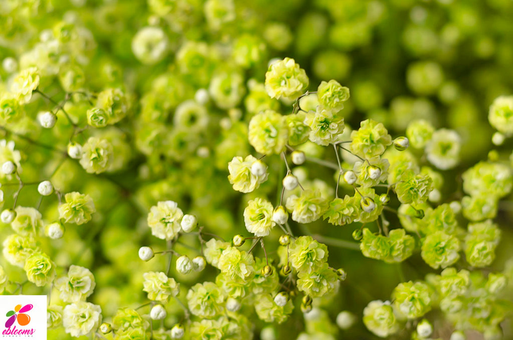 Baby's breath Green Neon - EbloomsDirect