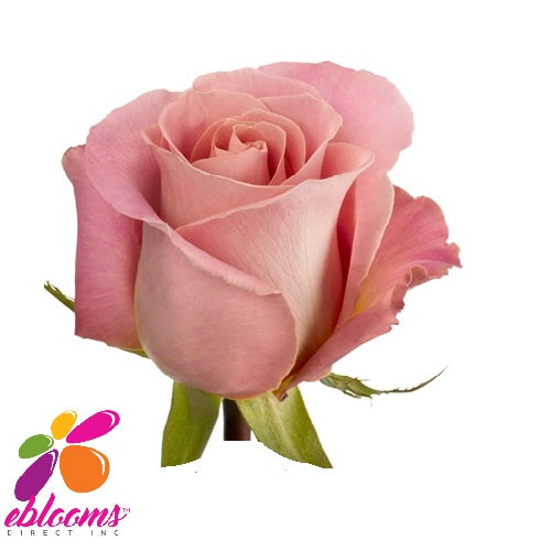 Hermosa Rose Variety - EbloomsDirect