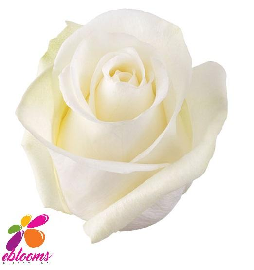 High & Pure Rose Variety White - EbloomsDirect