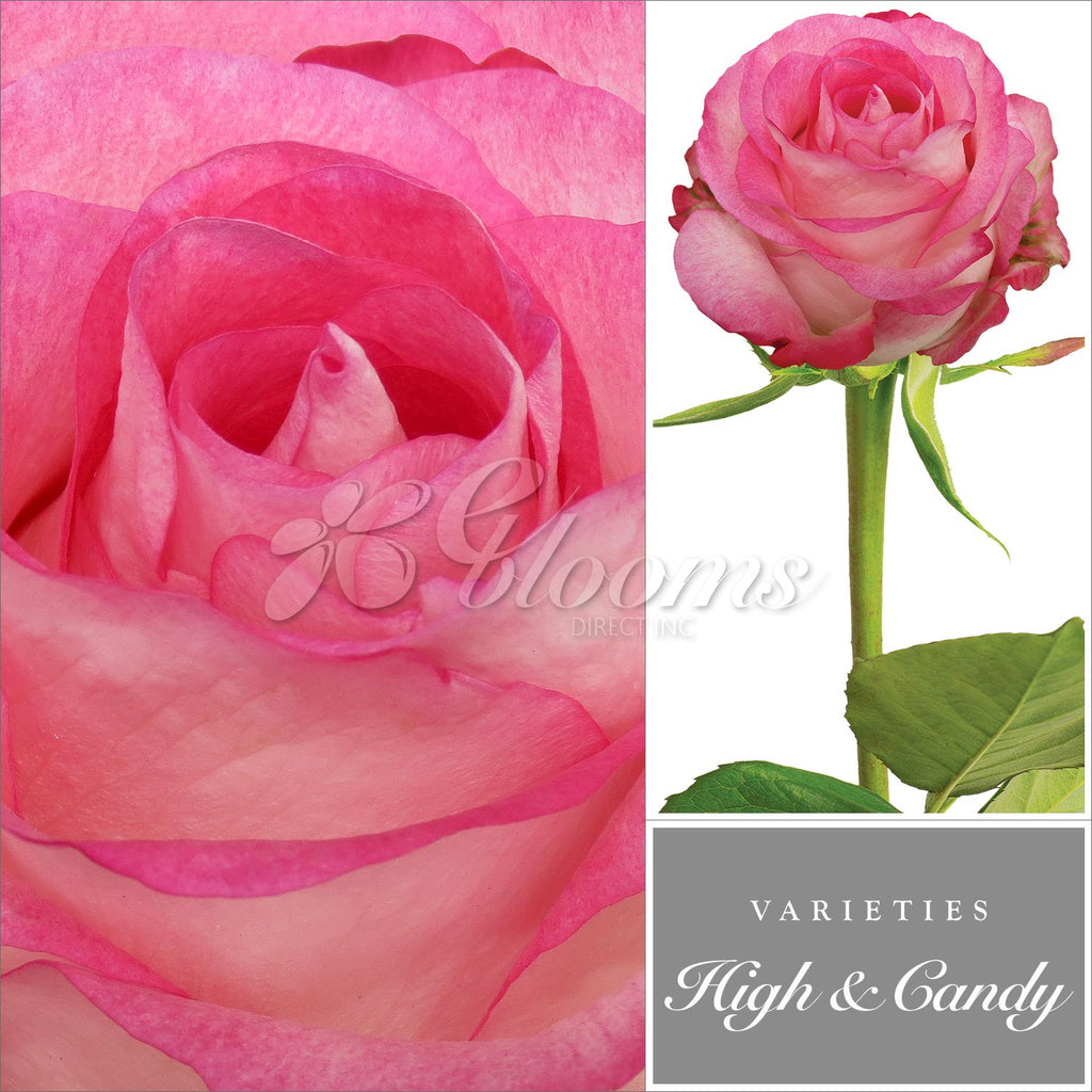 Rose High & Candy Bicolor White and Pink - EbloomsDirect