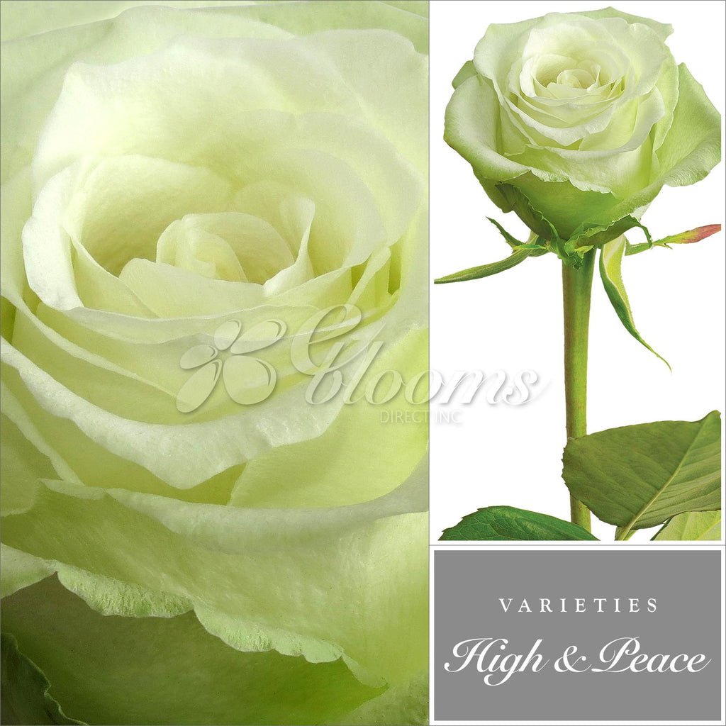 high and peace white rose varieties