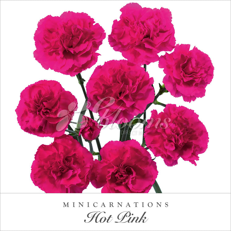 Mini Carnation Hot Pink - EbloomsDirect