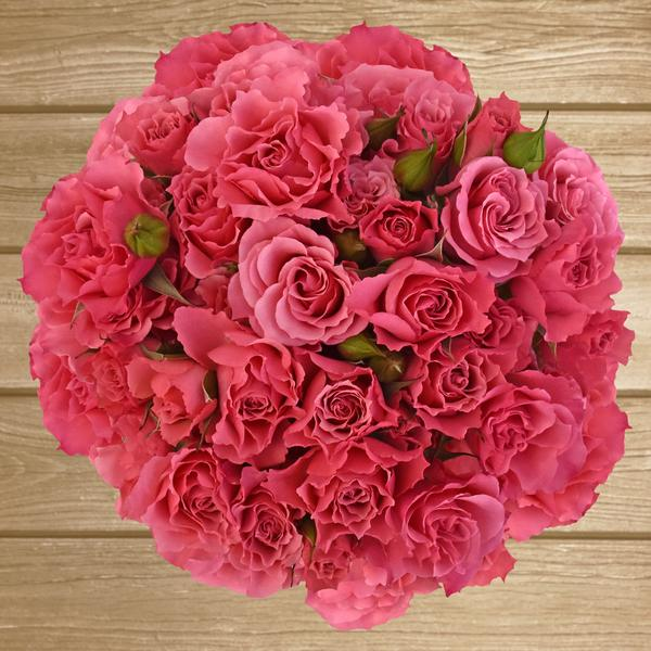 Spray Roses Hot Pink 40cm - Pack 120 Stems - EbloomsDirect