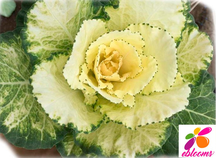Kale Crane Ivory - 50 Stems - EbloomsDirect