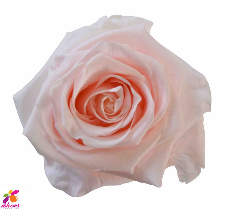 Preserved Roses Blush Pink - EbloomsDirect