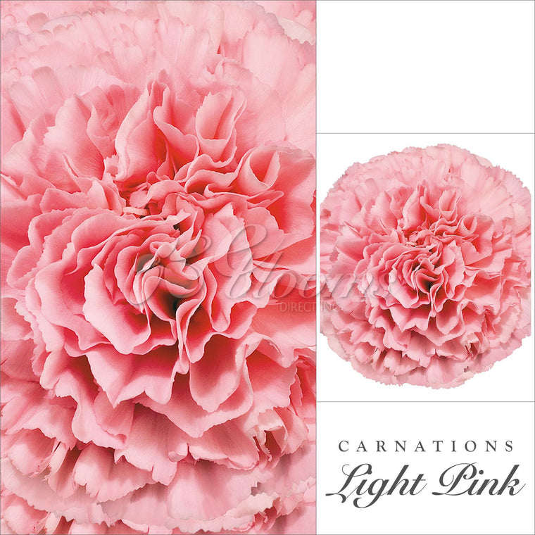Carnations Pink - EbloomsDirect