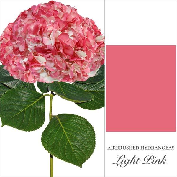 Hydrangea Light Pink Airbrushed Coral