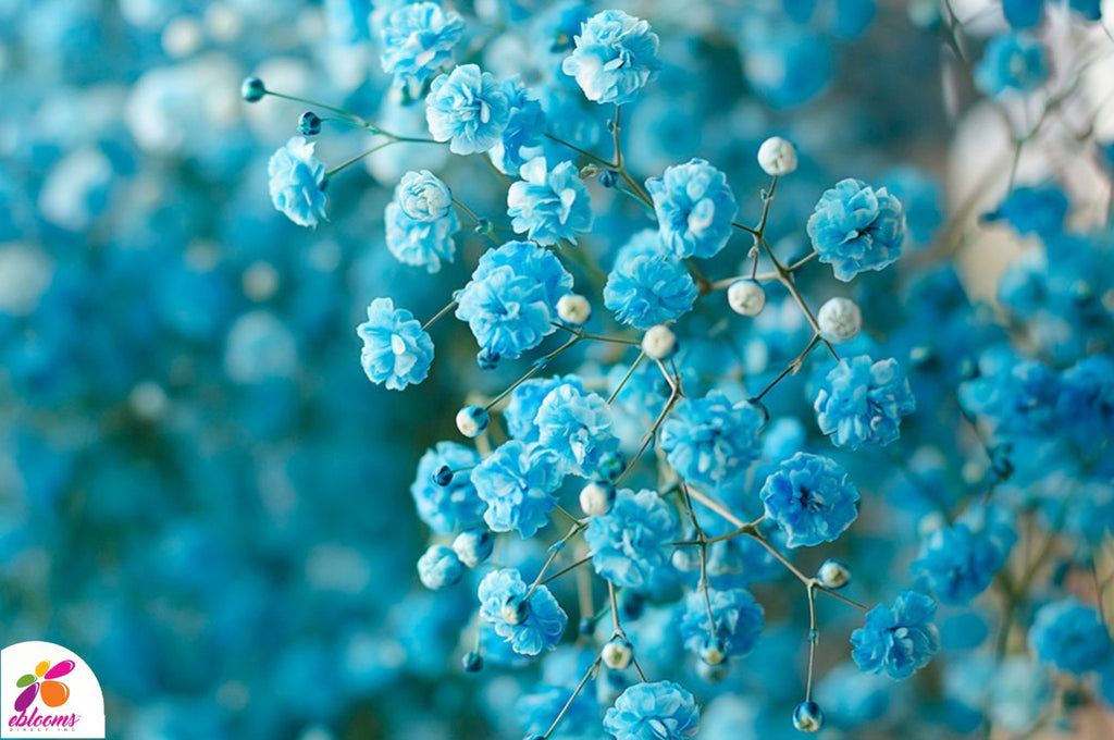 Baby's Breath Light Turquoise - EbloomsDirect