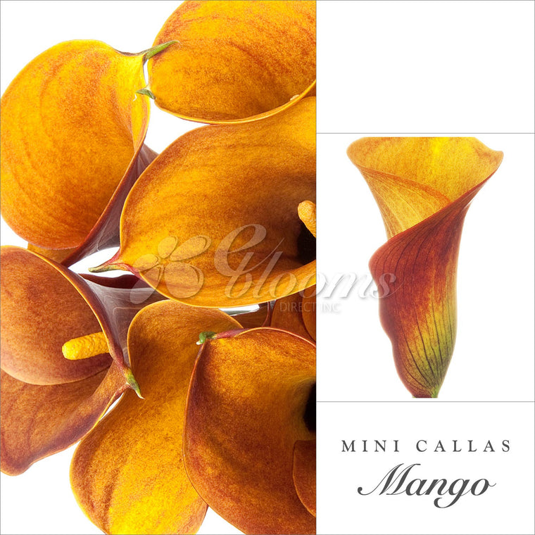 Mini Callas Mango- Orange - EbloomsDirect