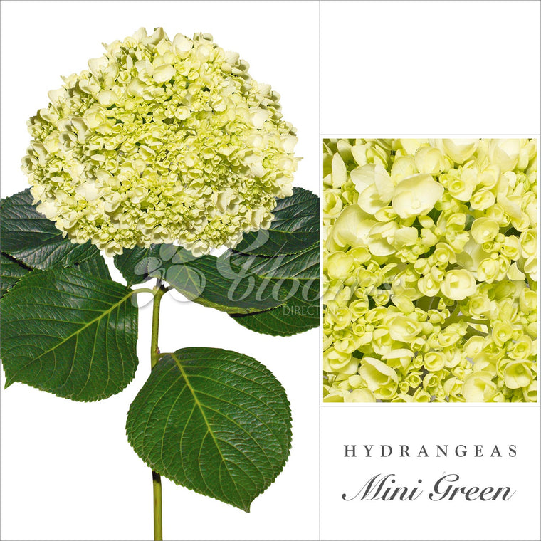 Hydrangea Mini Green - EbloomsDirect