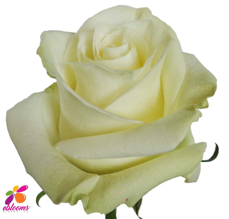 Mondial Rose Variety White - EbloomsDirect