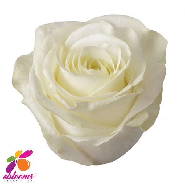 Mount Everest White Rose variety - EbloomsDirect