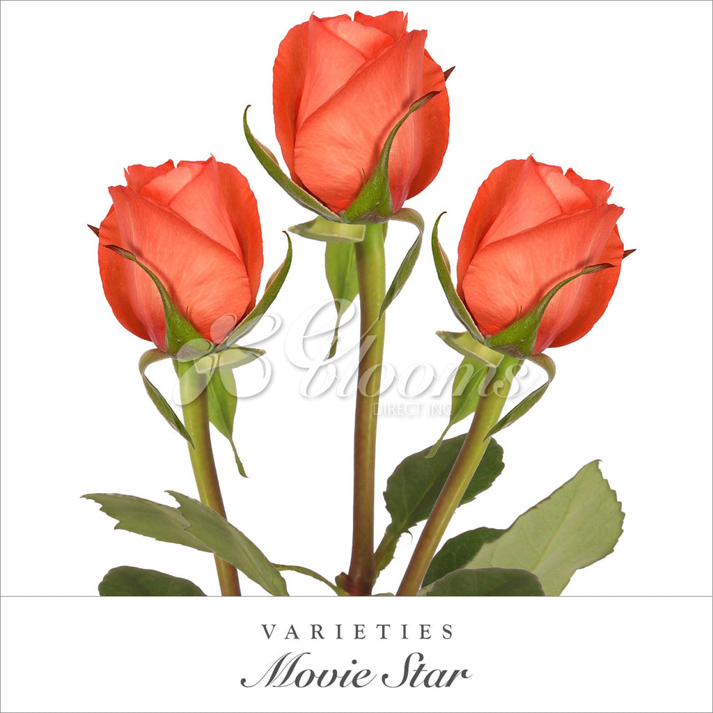 Rose Movie Star Coral - EbloomsDirect