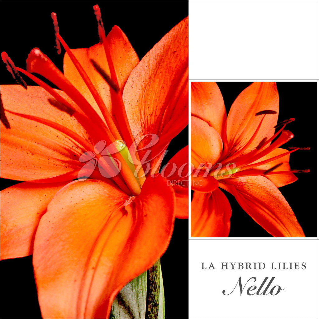 Orange Hybrid Lilies - EbloomsDirect