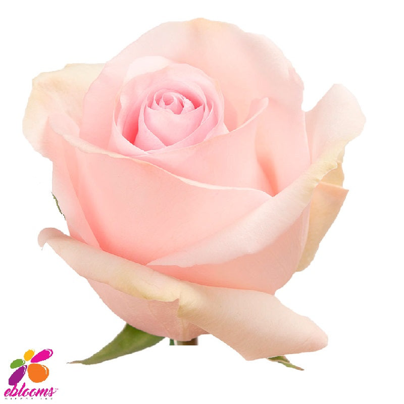 Nena Rose variety - EbloomsDirect