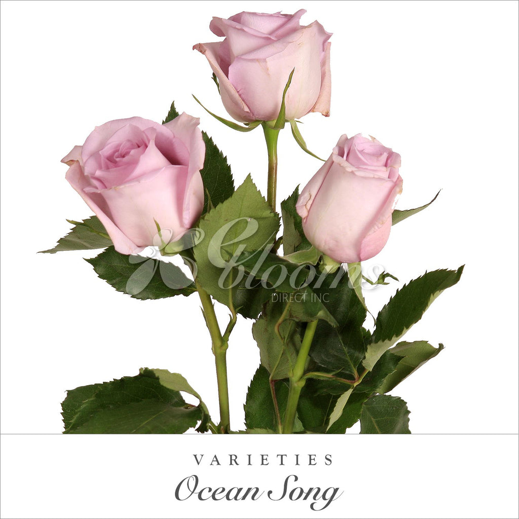 Rose Ocean Song Lavender - EbloomsDirect