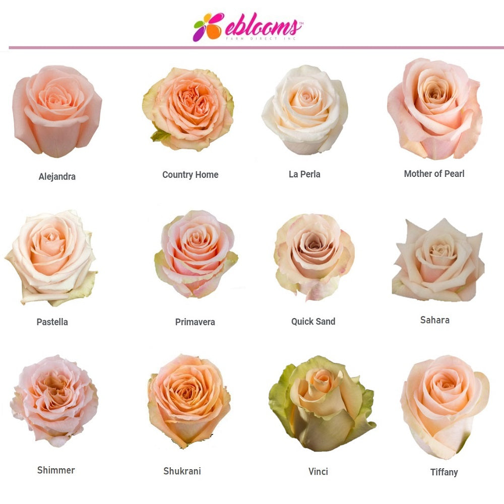 Mother of Pearl Rose Variety- EbloomsDirect