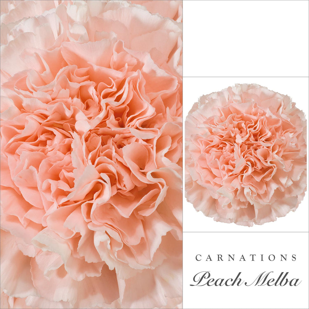 Carnations Peach - EbloomsDirect