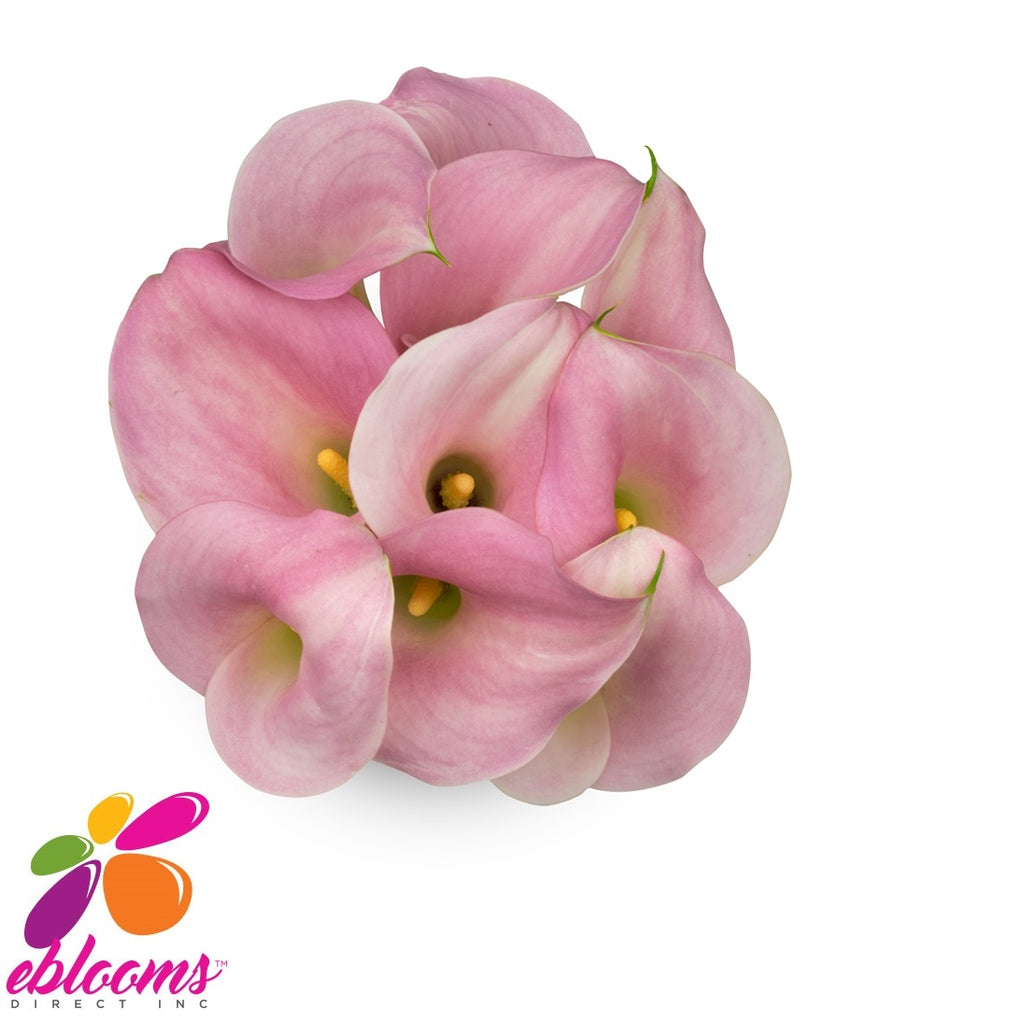 Mini Callas Pink Perle Rose PAck 80 stems- EbloomsDirect