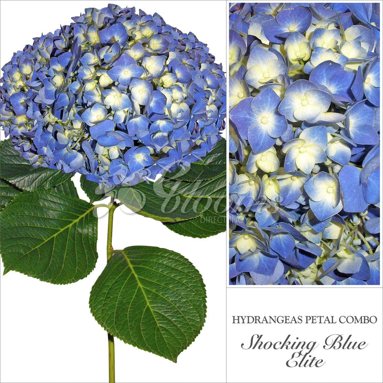 Hydrangea Shocking Blue - EbloomsDirect
