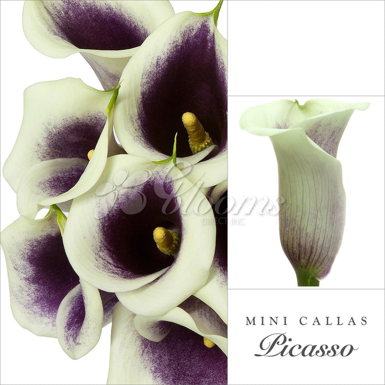 Mini Callas Cream/Purple - EbloomsDirect