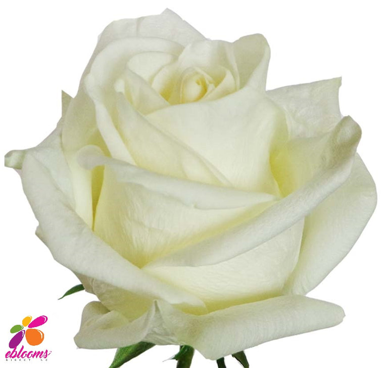 Polar Star Rose Variety White - EbloomsDirect