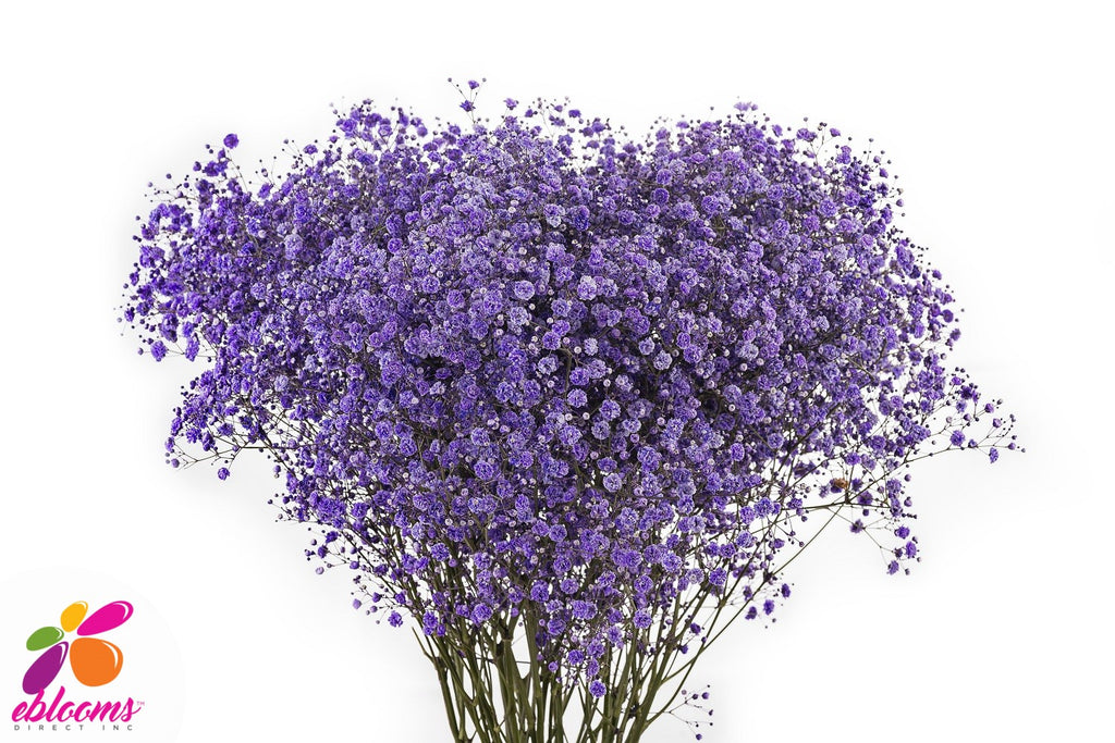 Baby's Breath Purple Tinted