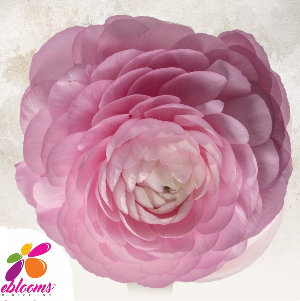 Ranunculus Light Pink Buttercup Flowers