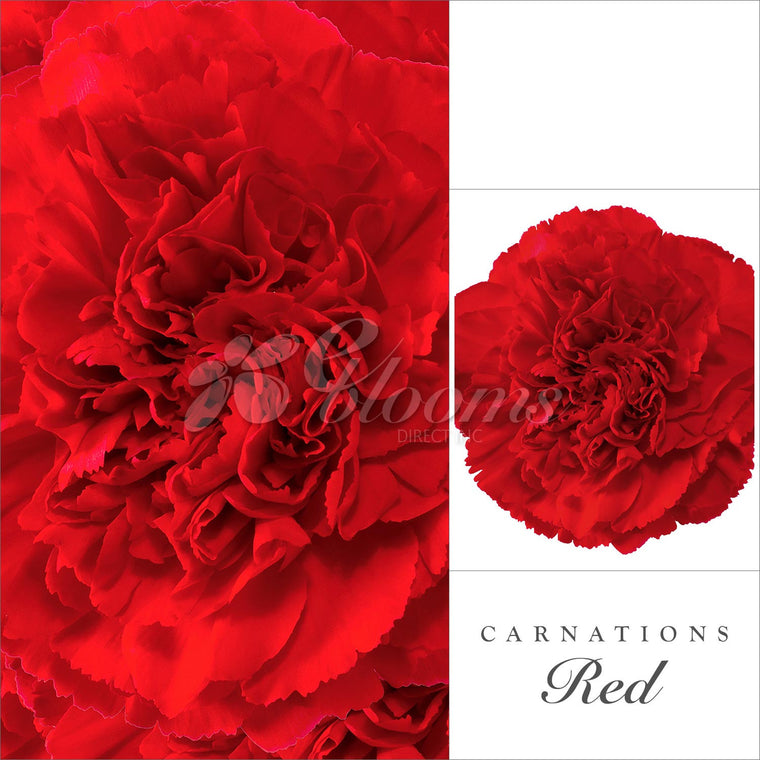 Carnations Red - EbloomsDirect