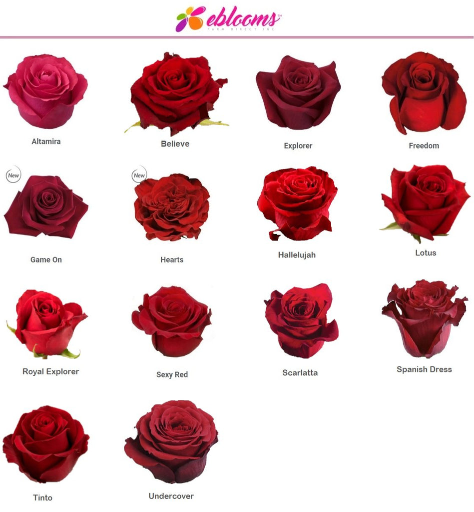 Sexy Red Rose variety - EbloomsDirect