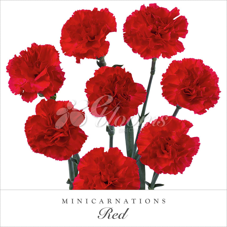 Mini Carnations Red - EbloomsDirect