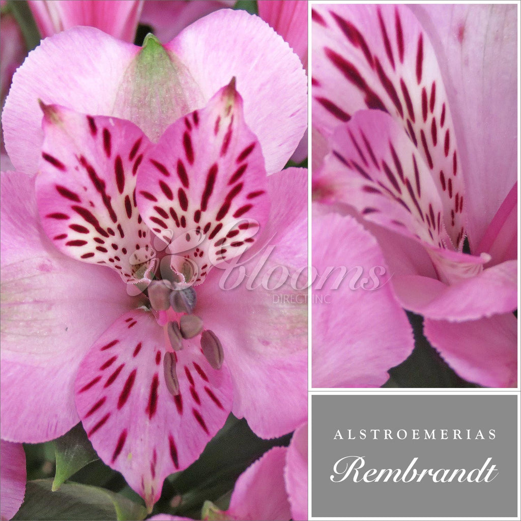 Alstroemeria Light Pink - EbloomsDirect