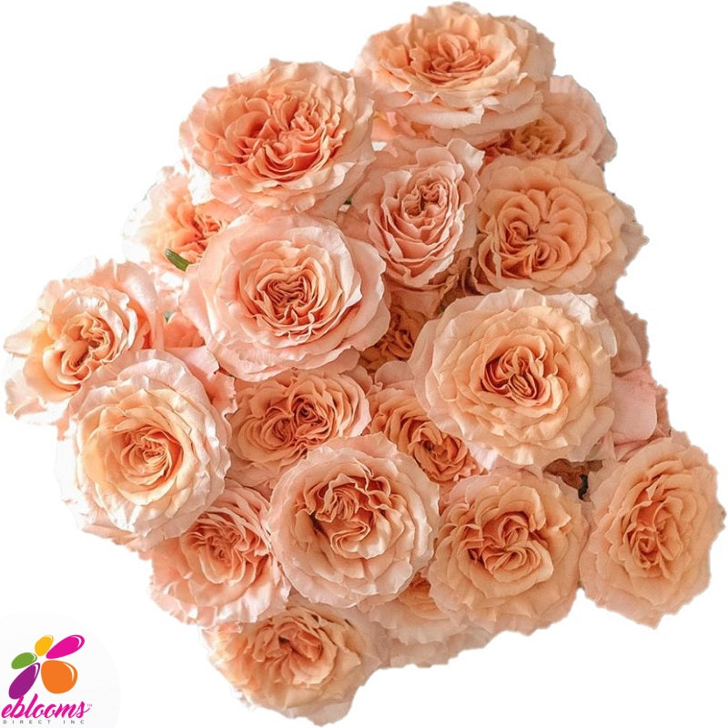Shimmer Peach Rose variety - EbloomsDirect
