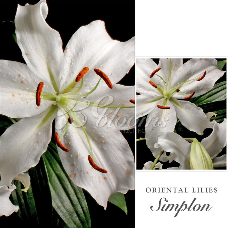 Oriental Lily White Pack 40 stems - EbloomsDirect