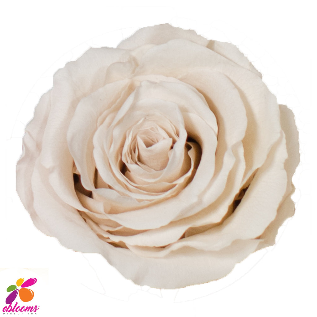 Preserved Flower Rose Cream - wholesale rose