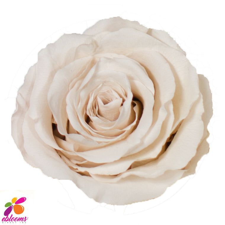Preserved Roses White - EbloomsDirect
