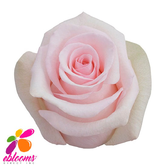 Sophie Rose Variety - EbloomsDirect
