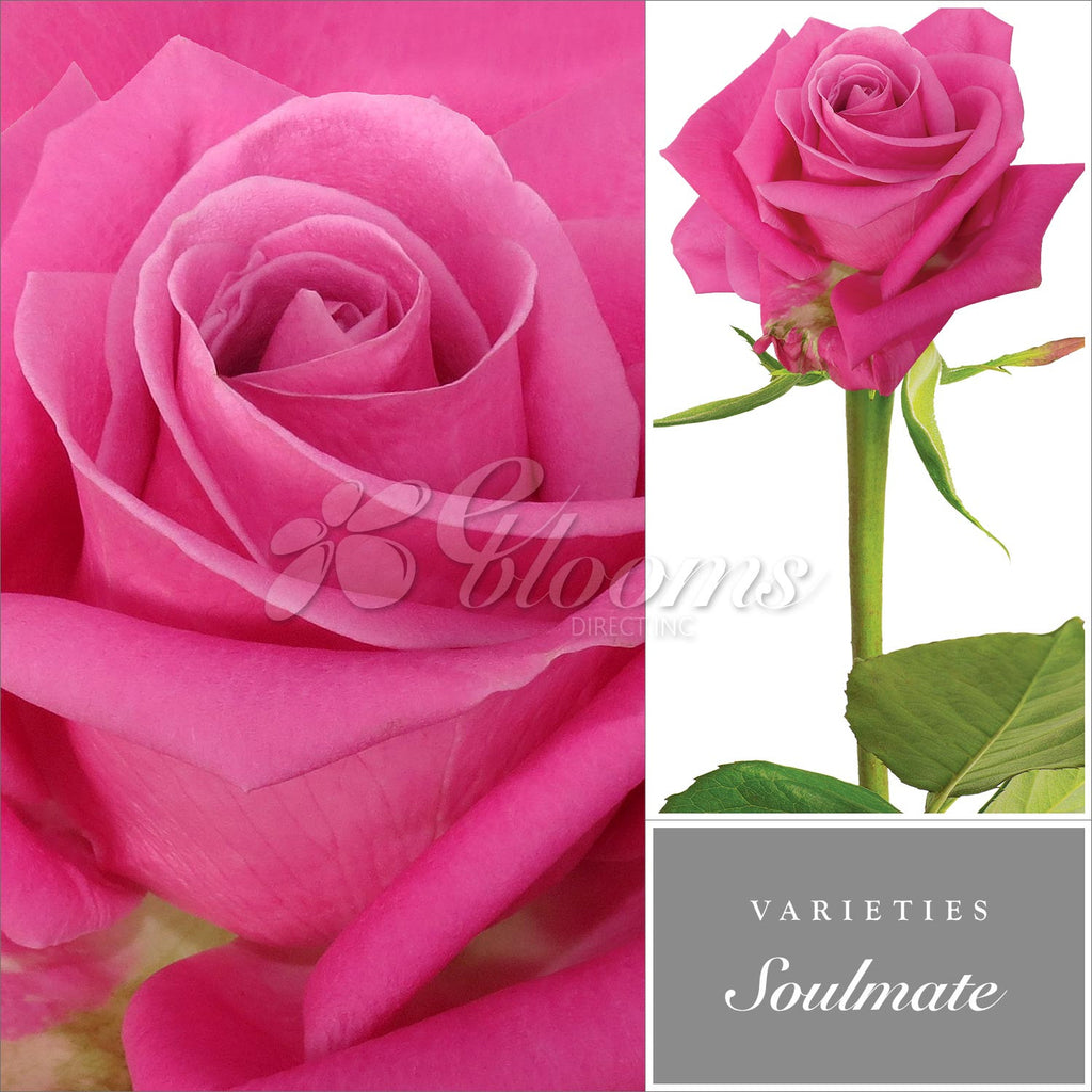 Rose Hot Pink by Variety - EbloomsDirect