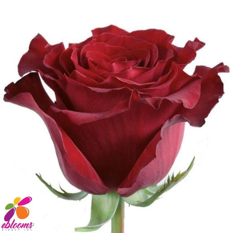 Spanish Dress Red Rose Variety - EbloomsDirect