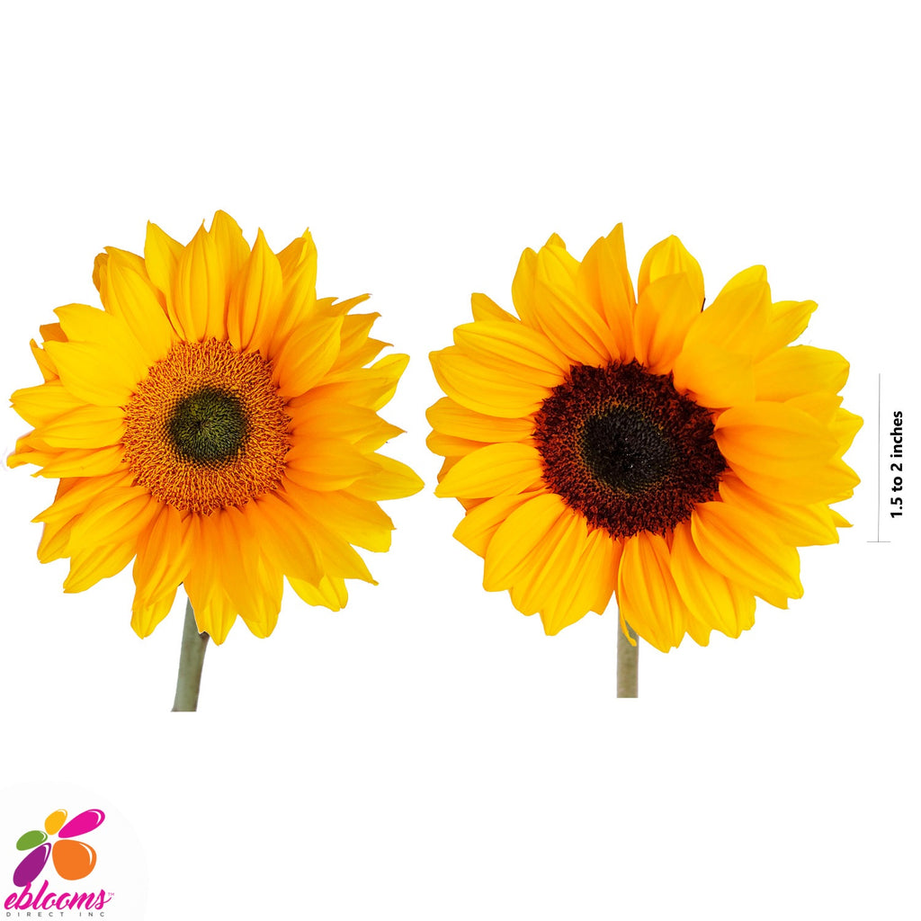 Sunflower Select Mix Green and brown center - EbloomsDirect