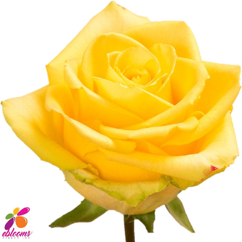 Stardust Rose Variety - EbloomsDirect
