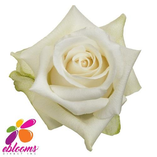 Sublime Rose Variety - EbloomsDirect