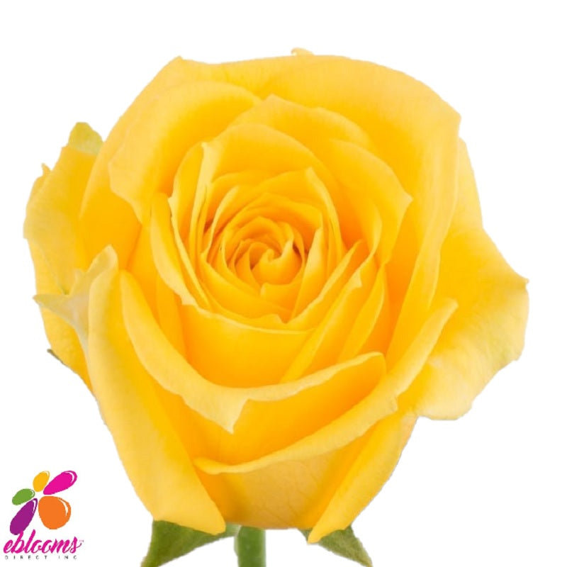 Super Sun Rose Variety - EbloomsDirect
